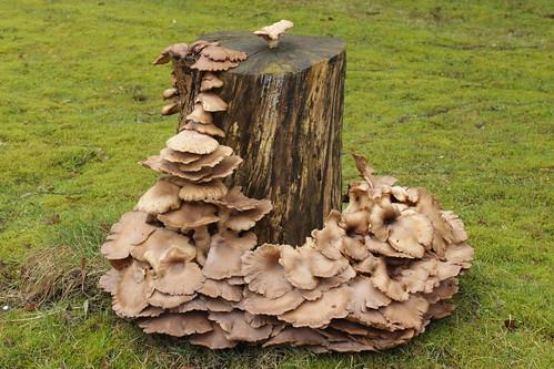 Oyster Mushroom - Pleurotus ostreatus | by Björn S...