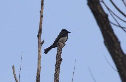 kevinlucas blackphoebe sayornisnigricans toppenishcreek overwinter yakimacountyrarebird