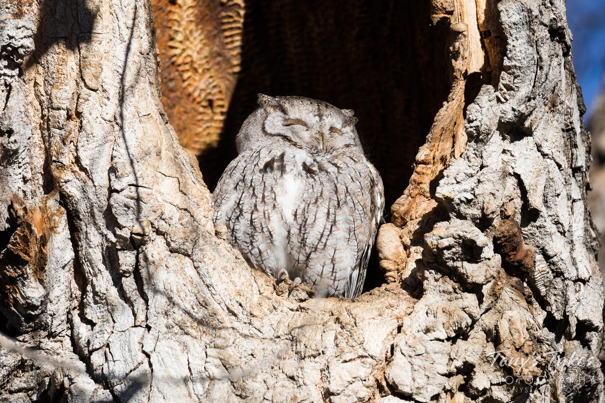 Tiny Eastern Screech Owl soaks in the warm sun