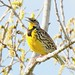 Western Meadowlark by cr8ed4joy