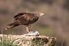 Bonelli's Eagle by Josh13770