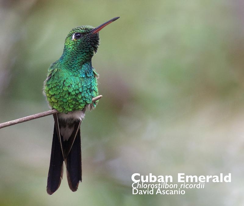 Cuban Emerald, Chlorostilbon ricordii_199A4139