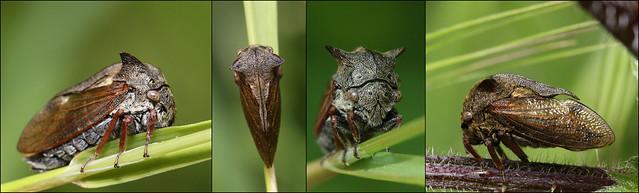 Treehopper - Centrotus cornutus