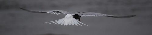 Arctic Tern   by mjanson98