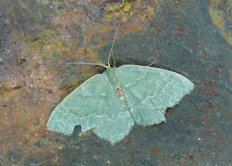 70.305 BF1669 Common Emerald - Hemithea aestivaria