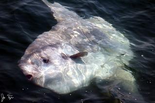 Ocean Sunfish near Farallon Islands