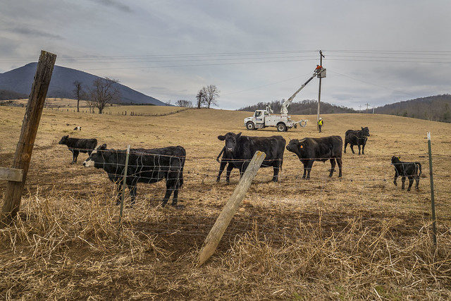 Cows in the foreground with a truck in the background