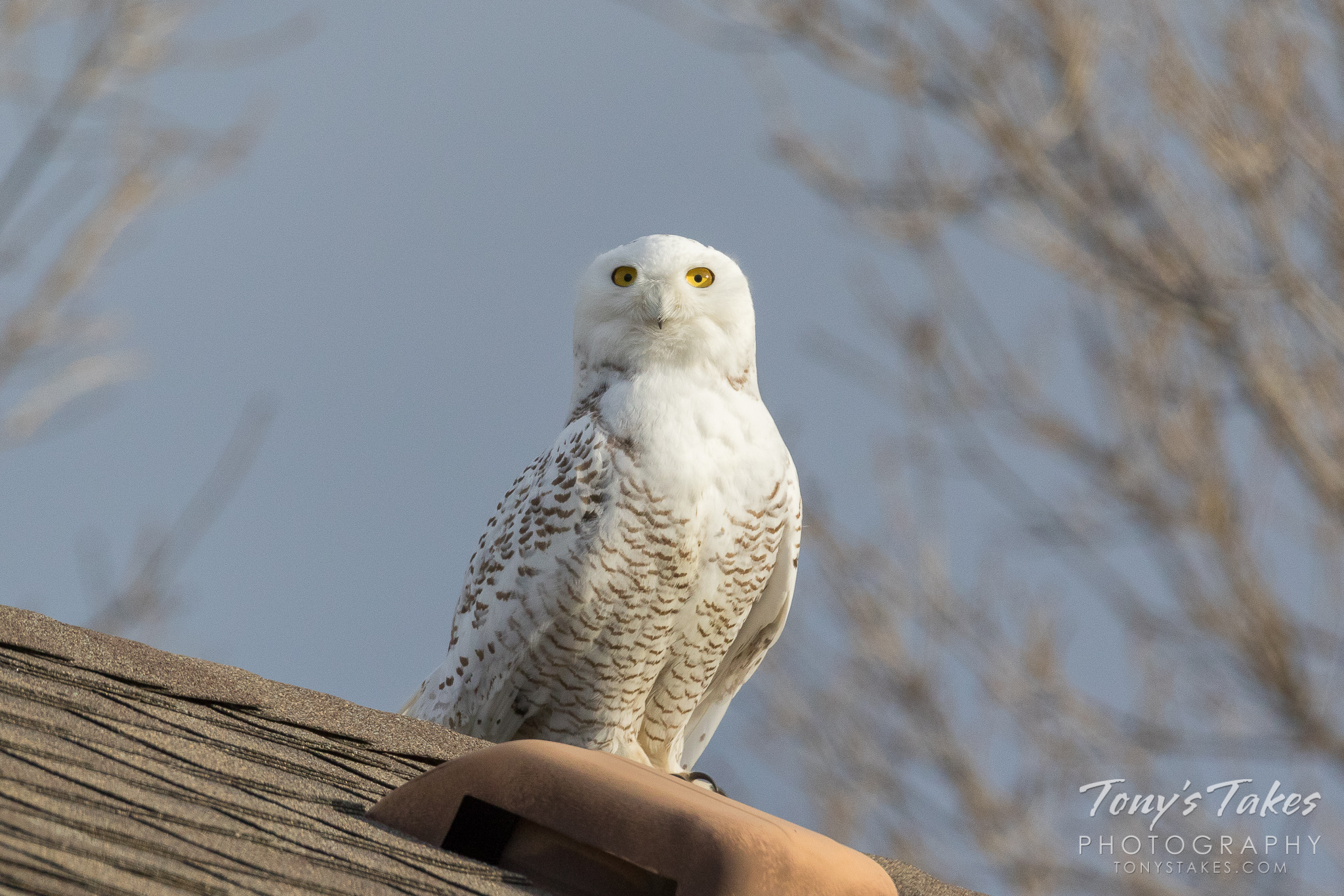 Big eyes on a beautiful snowy owl