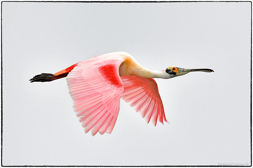 alafiabnaks tampa florida raphaelkopanphotography d500 nikkor600f4evr tripod wildlife