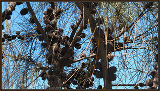 Casuarina Tree's cones  (Tooradin foreshore).