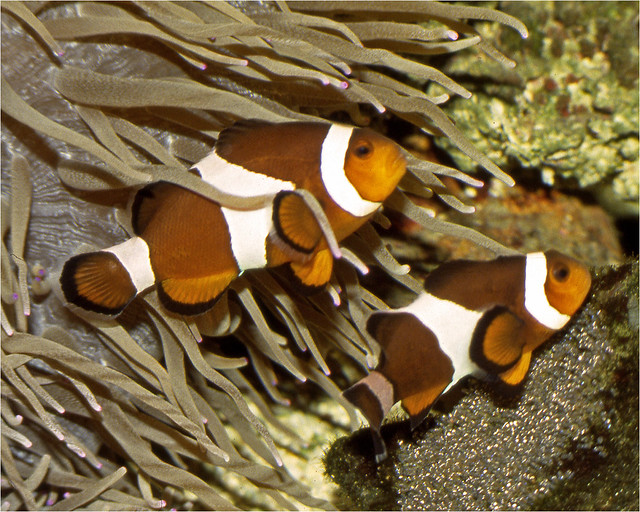 Care eggs by common clownfish