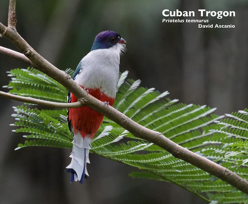Cuban Trogon, Trogon temnurus_199A4676