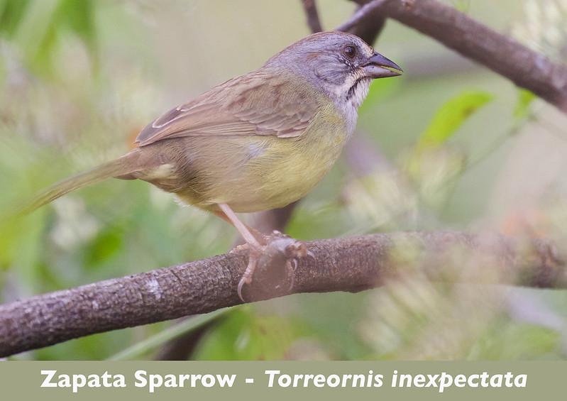 Zapata Sparrow, Torreornis inexpectata_199A4490