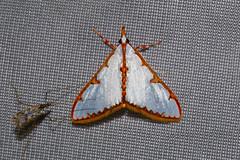 Crambidae: Cirrhochrista brizoalis