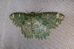 Eucyclodes stellifera (male)