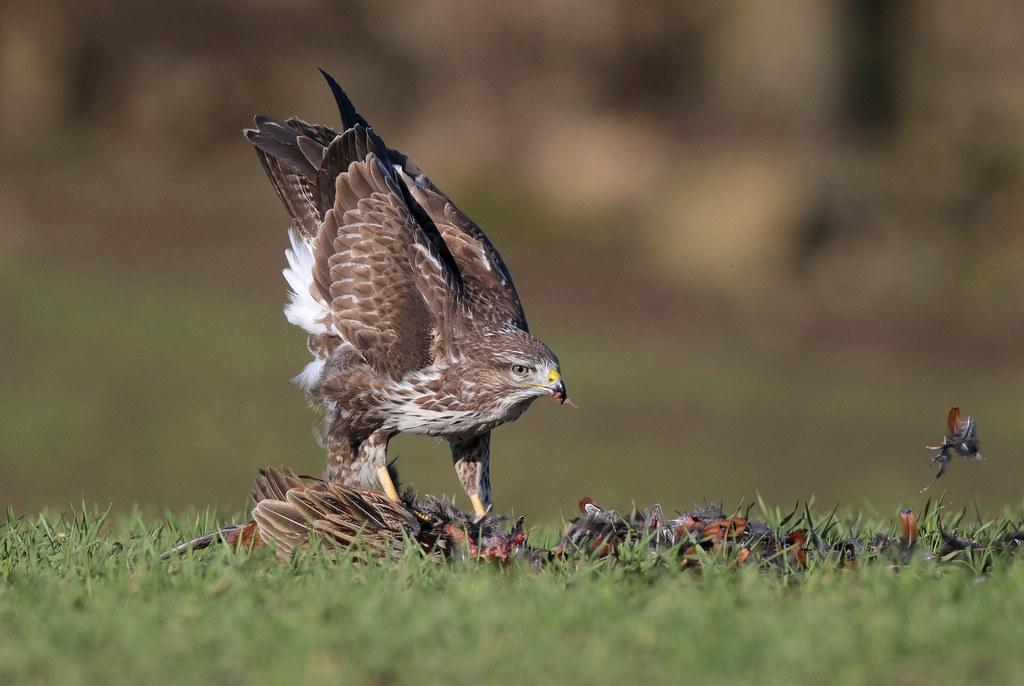 Just a Pleasant Pheasant Plucker :)  9P1A2840a