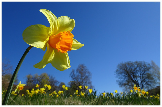 yellow daffodil, blue sky