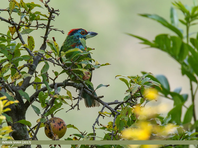 Blue-throated Barbet (Megalaima asiatica)