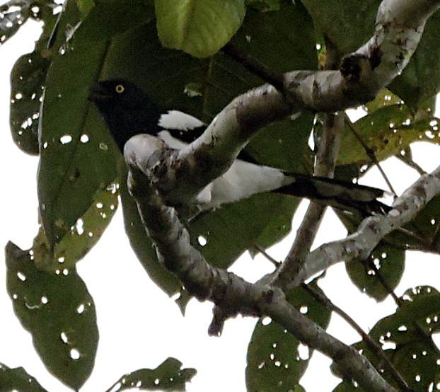 Magpie Tanager, Cissopis leveriana