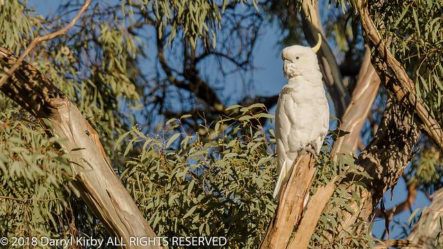 Sulphur-crested Cockatoo (Cacatua gallerita)