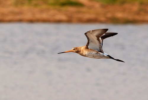 Limosa limosa | by Josep M.Torrents