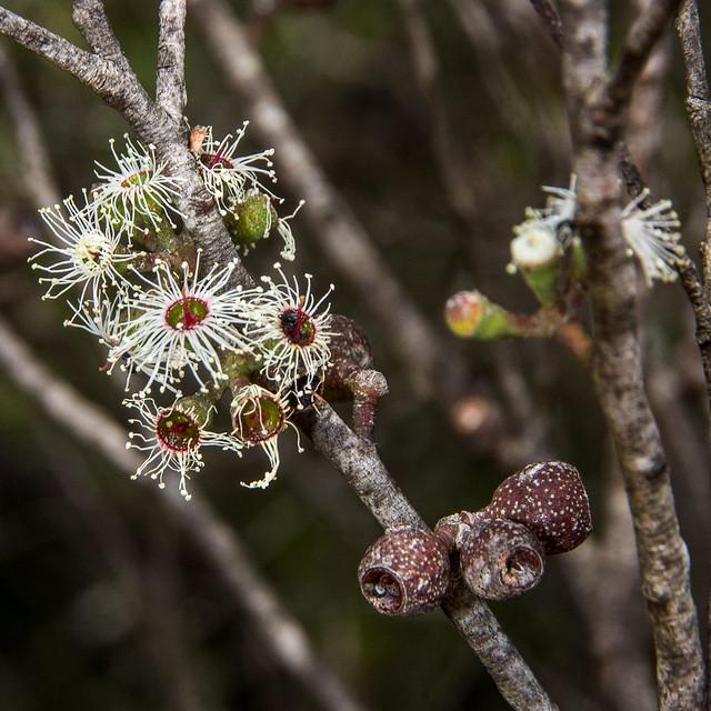 Cliff Mallee Ash (Eucalyptus cunninghamii)