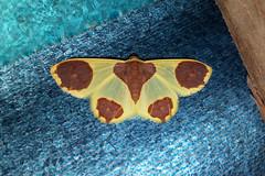 Plutodes sp. (Dog's Paw Moth)