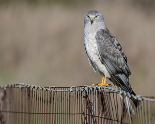Gray Ghost - Northern Harrier (m) | by Becky Matsubara