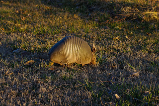 armadillo | by pepperberryfarm