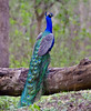 Indian Endemics: Indian Peafowl by spiderhunters