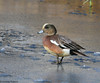 American Wigeon by Ceredig Roberts