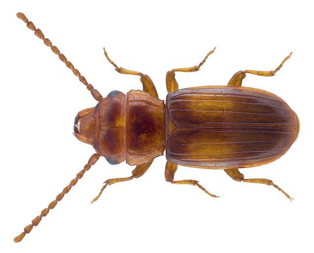 Laemophloeus monilis (Fabricius, 1787)