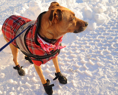 Rosie all dressed up for very cold weather, red sweater, plaid jacket, service dog cape, pink scarf, collar, booties, standing on the street, sunlight, North Mountain View, Anchorage, Alaska, USA