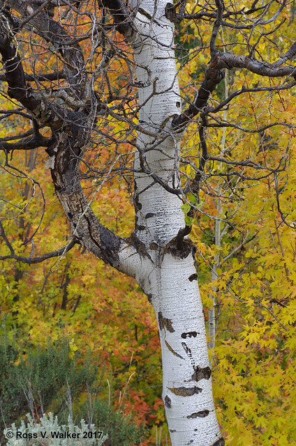 Aspen Bark and Fall Color