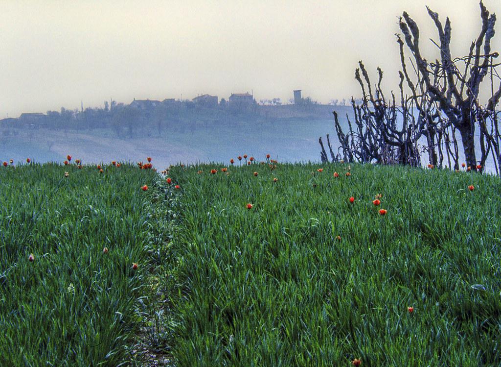 C'era una volta: tulipani rossi selvatici nel grano verde (1976)