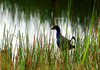African Swamphen by zimbart