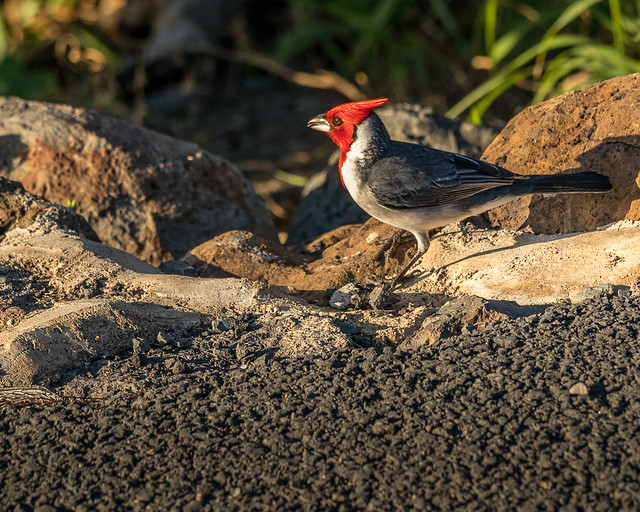 Red-crested cardinal_0160_Oahu_1-12-18_resized