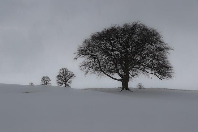 Trees , Snow