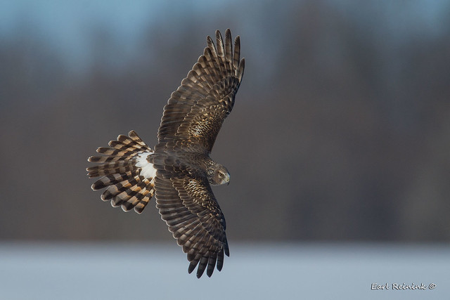 Female Harrier