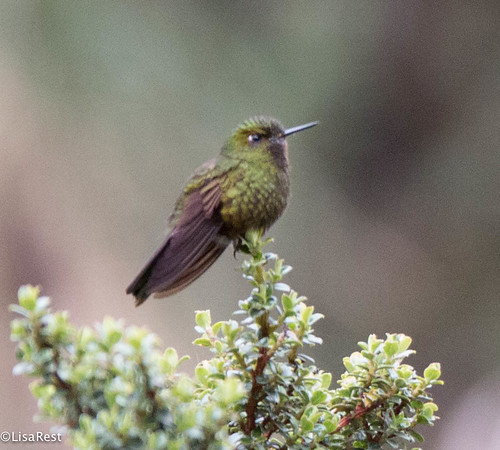 Viridian Metaltail 11-20-2017-8791   by finchette