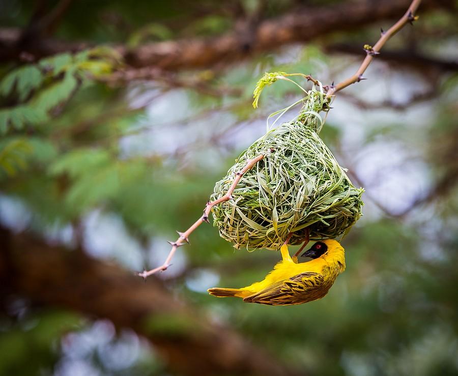 Namibian Weaver Bird Building Its Nest Eric Flickr