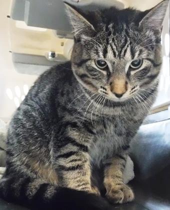 Animal ID 37757488 Species Cat Breed Domestic Shorthair/Mi