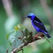 "*** "" Red-legged Honeycreeper / Guit-guit saï "" by ricketdi"