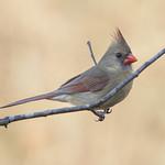 Cardinal Chilling