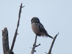 Northern Hawk Owl, Sax-Zim Bog, 1/9/2018