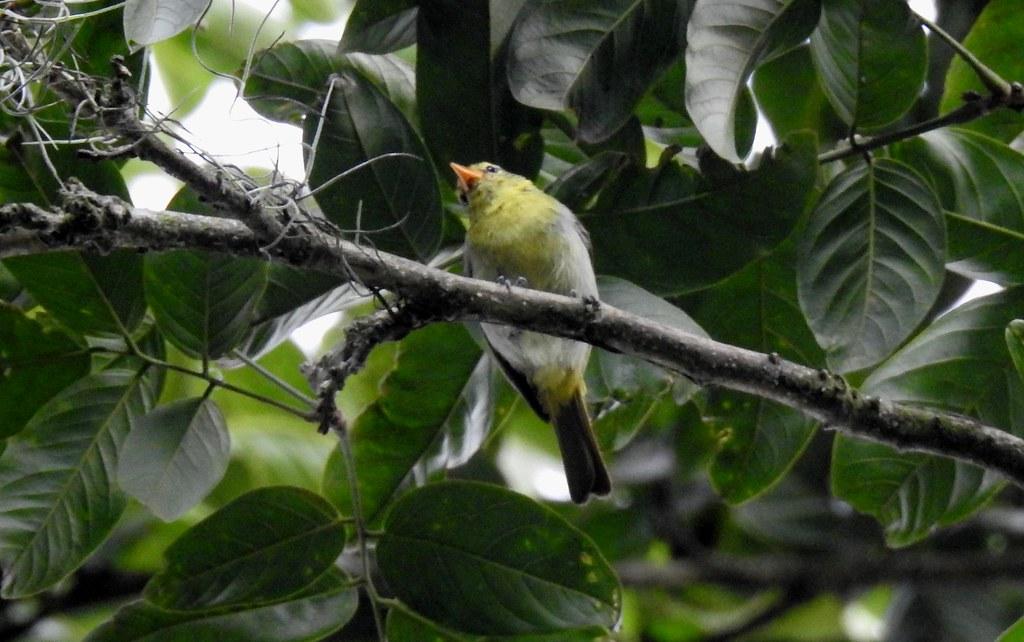 Guira Tanager / Tangara Guira (Hemithraupis guira) al frente de Cotrina, Ecuador