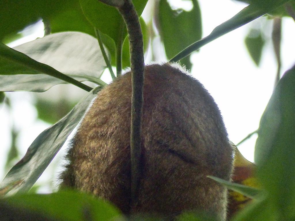 Silky Anteater, Caroni Swamp, Trinidad