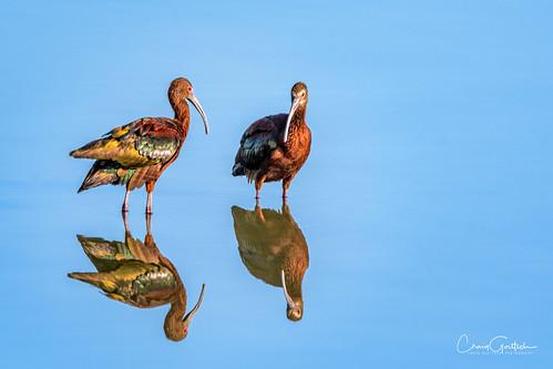 hendersonbirdviewingpreserve2017 avian whitefaced ibis water blue reflection nature wildlife nikon d500 600mm