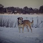 2012-02-04 um 16-34-13 - Hund im Schnee