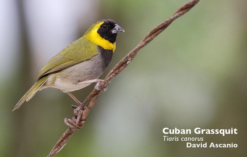 Cuban Grassquit_Tiaris canorus_Ascanio_Cuba 1_199A4980